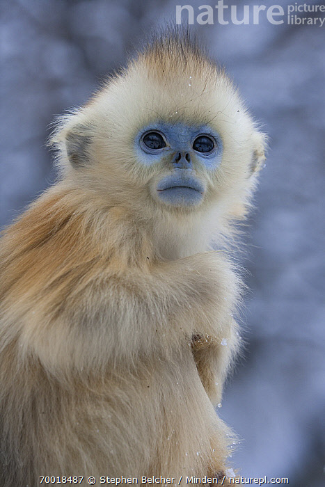 Golden Snub-nosed Monkey (Rhinopithecus roxellana) baby, Qinling Mountains, China  ,  Baby, Color Image, Day, Endangered Species, Golden Snub-nosed Monkey, Infant, Nobody, One Animal, Outdoors, Photography, Qinling Mountains, Rhinopithecus roxellana, Side View, Threatened Species, Three Quarter Length, Vertical, Wildlife,Golden Snub-nosed Monkey,China  ,  Stephen Belcher