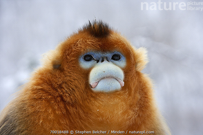 Golden Snub-nosed Monkey (Rhinopithecus roxellana) male in snowfall, Qinling Mountains, China  ,  Adult, Color Image, Day, Endangered Species, Front View, Frowning, Golden Snub-nosed Monkey, Head and Shoulders, Horizontal, Male, Nobody, One Animal, Outdoors, Photography, Portrait, Qinling Mountains, Rhinopithecus roxellana, Sad, Snow, Snowing, Threatened Species, Wildlife, Winter,Golden Snub-nosed Monkey,China  ,  Stephen Belcher