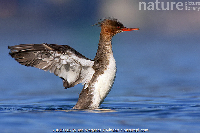 Red-breasted Merganser (Mergus serrator) female flapping wings, Vancouver, British Columbia, Canada  ,  Adult, Color Image, Day, Female, Flapping, Full Length, Horizontal, Mergus serrator, Nobody, One Animal, Outdoors, Photography, Red-breasted Merganser, Side View, Vancouver, Waterfowl, Wildlife,Red-breasted Merganser,Canada  ,  Jan Wegener