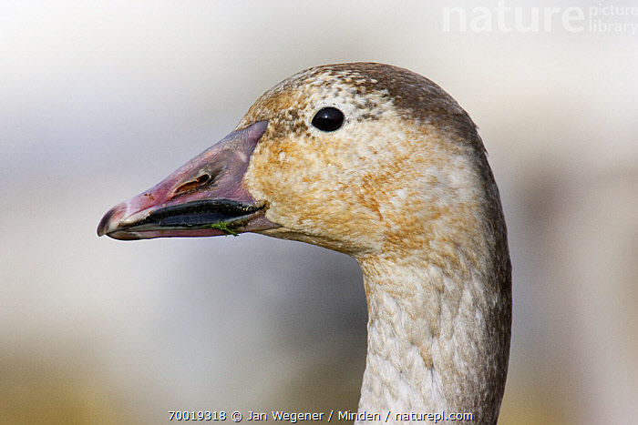 Snow Goose (Chen caerulescens) juvenile, Vancouver, British Columbia, Canada  ,  British Columbia, Canada, Chen caerulescens, Color Image, Day, Face, Head, Horizontal, Juvenile, Nobody, One Animal, Outdoors, Photography, Portrait, Profile, Side View, Snow Goose, Vancouver, Wildlife,Snow Goose,Canada  ,  Jan Wegener