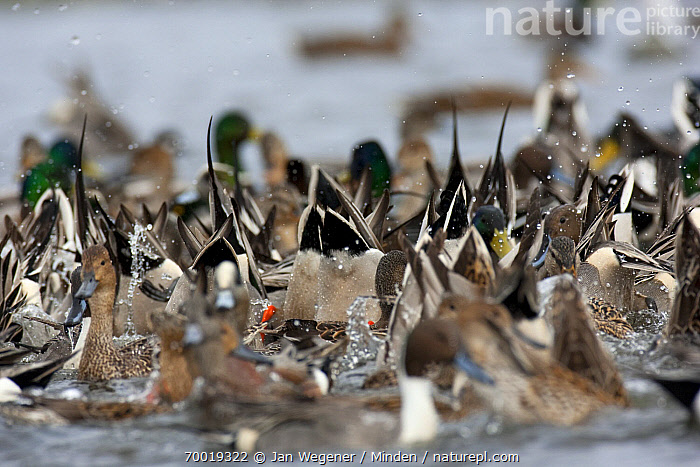 Northern Pintail (Anas acuta) and Mallard (Anas platyrhynchos) flock diving for food, Vancouver Island, Canada  ,  Adult, Anas acuta, Anas platyrhynchos, Canada, Color Image, Dabbling, Day, Diving, Feeding, Feeding Frenzy, Flock, Foraging, Full Length, Horizontal, Large Group of Animals, Mallard, Nobody, Northern Pintail, Outdoors, Photography, Side View, Splashing, Vancouver, Wading Bird, Wildlife,Northern Pintail,Mallard,Anas platyrhynchos,Canada  ,  Jan Wegener