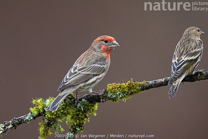 House Finch (Carpodacus mexicanus) on a mossy perch with a Pine Siskin (Carduelis pinus), Vancouver Island, Canada  ,  Adult, Branch, Canada, Carduelis pinus, Carpodacus mexicanus, Color Image, Day, Full Length, Horizontal, House Finch, Male, Nobody, Outdoors, Perched, Photography, Pine Siskin, Rear View, Side View, Songbird, Two Animals, Vancouver, Wildlife,House Finch,Pine Siskin,Carduelis pinus,Canada  ,  Jan Wegener