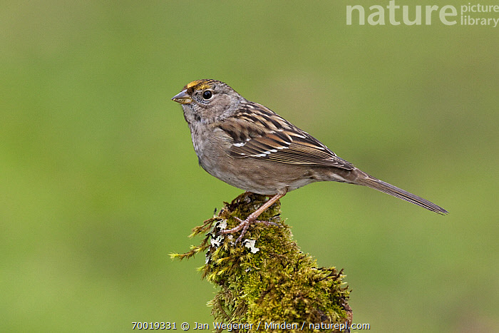 Golden-crowned Sparrow (Zonotrichia atricapilla) perched on mossy branch, Vancouver Island, Canada  ,  Adult, Color Image, Day, Full Length, Golden-crowned Sparrow, Horizontal, Nobody, One Animal, Outdoors, Perched, Photography, Side View, Vancouver, Wildlife, Zonotrichia atricapilla,Golden-crowned Sparrow,Canada  ,  Jan Wegener
