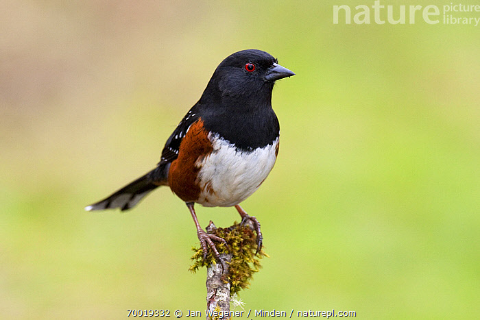 Spotted Towhee (Pipilo maculatus) perched on mossy branch, Vancouver Island, Canada  ,  Adult, Color Image, Day, Front View, Full Length, Horizontal, Nobody, One Animal, Outdoors, Photography, Pipilo maculatus, Spotted Towhee, Vancouver, Wildlife,Spotted Towhee,Canada  ,  Jan Wegener