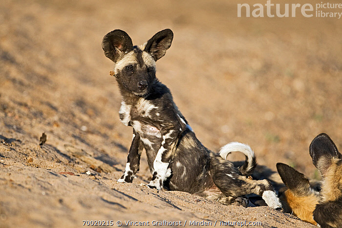 African Wild Dog (Lycaon pictus) pup in the sand, Northern Tuli Game Reserve, Botswana  ,  African Wild Dog, Botswana, Color Image, Day, Endangered Species, Full Length, Horizontal, Juvenile, Lycaon pictus, Nobody, Northern Tuli Game Reserve, One Animal, Outdoors, Photography, Pup, Side View, Wildlife,African Wild Dog,Botswana  ,  Vincent Grafhorst