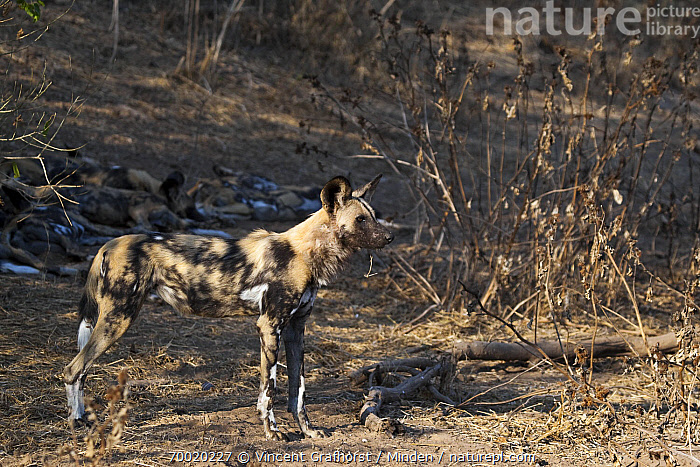 African Wild Dog (Lycaon pictus) standing near sleeping pack, Northern Tuli Game Reserve, Botswana  ,  Adult, African Wild Dog, Alert, Botswana, Color Image, Day, Endangered Species, Full Length, Guard, Horizontal, Lycaon pictus, Nobody, Northern Tuli Game Reserve, One Animal, Outdoors, Pack, Photography, Side View, Standing, Wildlife,African Wild Dog,Botswana  ,  Vincent Grafhorst
