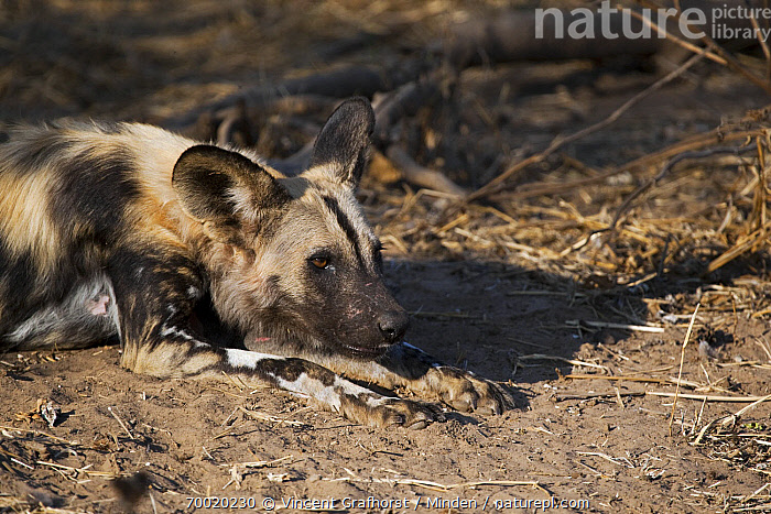 African Wild Dog (Lycaon pictus) lying down, Northern Tuli Game Reserve, Botswana  ,  Adult, African Wild Dog, Botswana, Color Image, Day, Endangered Species, Horizontal, Lycaon pictus, Lying, Nobody, Northern Tuli Game Reserve, One Animal, Outdoors, Photography, Side View, Waist Up, Wildlife,African Wild Dog,Botswana  ,  Vincent Grafhorst
