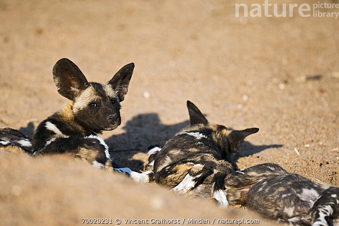African Wild Dog (Lycaon pictus) pups laying in sand, Northern Tuli Game Reserve, Botswana  ,  African Wild Dog, Botswana, Color Image, Day, Endangered Species, Head and Shoulders, Horizontal, Juvenile, Looking at Camera, Lycaon pictus, Lying, Nobody, Northern Tuli Game Reserve, Outdoors, Photography, Pup, Rear View, Sand, Three Animals, Waist Up, Wildlife,African Wild Dog,Botswana  ,  Vincent Grafhorst