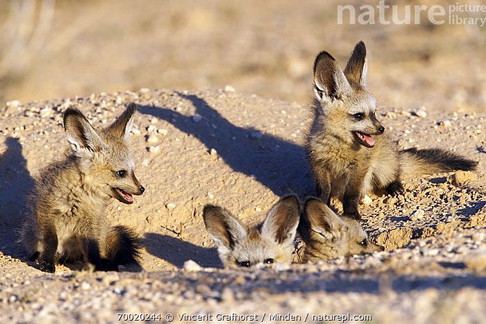 Bat-eared Fox (Otocyon megalotis) kits at burrow entrance, Kgalagadi Transfrontier Park, Nossob River, Botswana  ,  Bat-eared Fox, Botswana, Burrow, Color Image, Day, Family, Four Animals, Front View, Full Length, Horizontal, Juvenile, Kgalagadi Transfrontier Park, Kit, Nobody, Nossob River, Otocyon megalotis, Outdoors, Photography, Sand, Sibling, Side View, Wildlife,Bat-eared Fox,Botswana  ,  Vincent Grafhorst