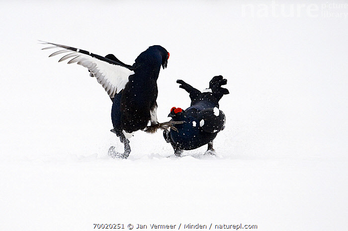 Black Grouse (Tetrao tetrix) two males fighting in snow, Oulu, Finland. Sequence 4 of 8.  ,  Adult, Black Grouse, Color Image, Competition, Day, Fighting, Finland, Front View, Full Length, Gamebird, Horizontal, Male, Nobody, Oulu, Outdoors, Photography, Sequence, Side View, Snow, Tetrao tetrix, Two Animals, Wildlife, Winter,Black Grouse,Finland  ,  Jan Vermeer