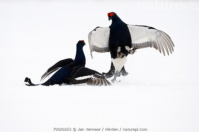 Black Grouse (Tetrao tetrix) two males fighting in snow, Oulu, Finland. Sequence 6 of 8.  ,  Adult, Black Grouse, Color Image, Competition, Day, Fighting, Finland, Front View, Full Length, Gamebird, Horizontal, Male, Nobody, Oulu, Outdoors, Photography, Sequence, Side View, Snow, Tetrao tetrix, Two Animals, Wildlife, Winter,Black Grouse,Finland  ,  Jan Vermeer