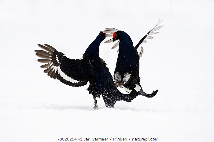 Black Grouse (Tetrao tetrix) two males fighting in snow, Oulu, Finland. Sequence 7 of 8.  ,  Adult, Black Grouse, Color Image, Competition, Day, Fighting, Finland, Front View, Full Length, Gamebird, Horizontal, Male, Nobody, Oulu, Outdoors, Photography, Sequence, Side View, Snow, Tetrao tetrix, Two Animals, Wildlife, Winter,Black Grouse,Finland  ,  Jan Vermeer