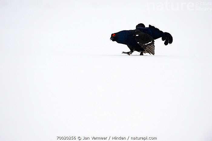 Black Grouse (Tetrao tetrix) male displaying in snow, Oulu, Finland  ,  Adult, Black Grouse, Color Image, Day, Displaying, Finland, Full Length, Gamebird, Horizontal, Male, Nobody, One Animal, Oulu, Outdoors, Photography, Side View, Snow, Tetrao tetrix, Wildlife,Black Grouse,Finland  ,  Jan Vermeer