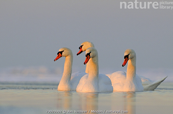 Mute Swan (Cygnus olor) group on water, Veluwemeer, Nunspeet, Gelderland, Netherlands  ,  Adult, Color Image, Cygnus olor, Day, Four Animals, Full Length, Gelderland, Horizontal, Mute Swan, Netherlands, Nobody, Outdoors, Photography, Side View, Waterfowl, Wildlife,Mute Swan,Netherlands  ,  Jan Vermeer
