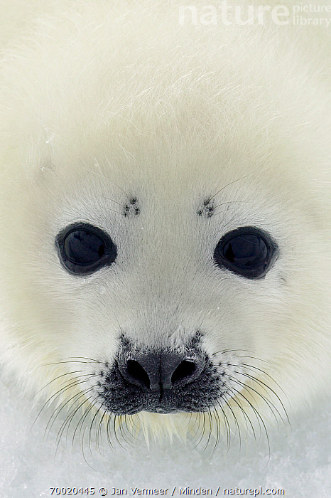 Harp Seal (Phoca groenlandicus) pup, Magdalen Islands, Gulf of Saint Lawrence, Canada  ,  Baby, Canada, Color Image, Cute, Day, Face, Front View, Full Frame, Gulf of Saint Lawrence, Harp Seal, Head, Juvenile, Looking at Camera, Magdalen Islands, Nobody, One Animal, Outdoors, Phoca groenlandicus, Photography, Portrait, Pup, Vertical, Whisker, Wildlife,Harp Seal,Canada  ,  Jan Vermeer