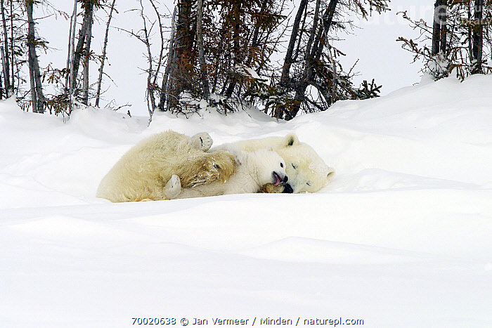 Polar Bear (Ursus maritimus) with young cub in the snow, Canada  ,  Adult, Canada, Color Image, Cub, Cuddling, Day, Female, Full Length, Horizontal, Mother, Nobody, Outdoors, Parent, Photography, Playing, Polar Bear, Snow, Threatened Species, Two Animals, Underside, Ursus maritimus, Vulnerable Species, Wildlife,Polar Bear,Canada  ,  Jan Vermeer