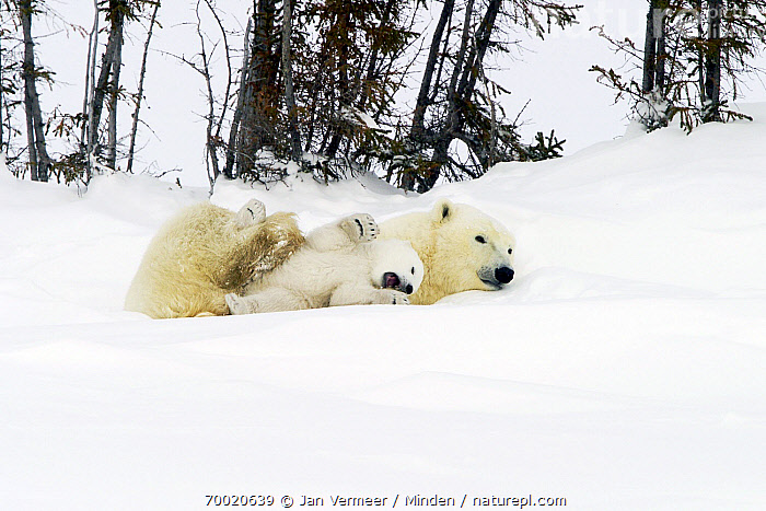 Polar Bear (Ursus maritimus) female with young cub in the snow, Canada  ,  Adult, Baby, Canada, Color Image, Cub, Cute, Day, Female, Full Length, Horizontal, Mother, Nobody, Outdoors, Parent, Photography, Playing, Polar Bear, Snow, Threatened Species, Two Animals, Underside, Ursus maritimus, Vulnerable Species, Wildlife, Winter,Polar Bear,Canada  ,  Jan Vermeer