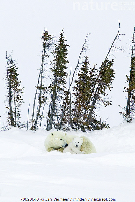 Polar Bear (Ursus maritimus) with young cub in snow, Canada  ,  Adult, Animal in Habitat, Canada, Color Image, Cub, Day, Female, Full Length, Juvenile, Nobody, Outdoors, Parent, Photography, Polar Bear, Side View, Snow, Threatened Species, Two Animals, Ursus maritimus, Vertical, Vulnerable Species, Wildlife,Polar Bear,Canada  ,  Jan Vermeer