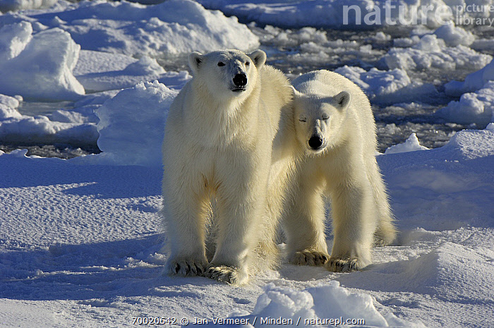 Polar Bear (Ursus maritimus) with cub, Svalbard, Norway  ,  Adult, Color Image, Cub, Day, Female, Front View, Full Length, Horizontal, Looking at Camera, Mother, Nobody, Norway, Nuzzling, Outdoors, Pack Ice, Parent, Photography, Polar Bear, Svalbard, Threatened Species, Two Animals, Ursus maritimus, Vulnerable Species, Wildlife,Polar Bear,Norway  ,  Jan Vermeer