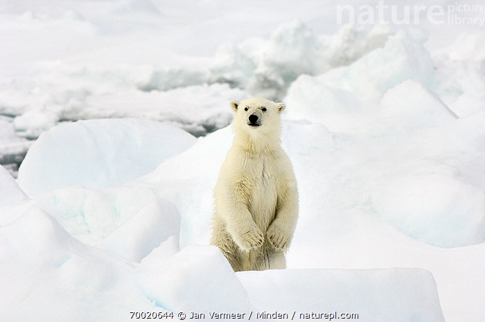 Polar Bear (Ursus maritimus) standing upright, Svalbard, Norway  ,  Adult, Color Image, Day, Front View, Horizontal, Looking at Camera, Nobody, Norway, One Animal, Outdoors, Pack Ice, Photography, Polar Bear, Standing, Svalbard, Threatened Species, Upright, Ursus maritimus, Vulnerable Species, Waist Up, Wildlife,Polar Bear,Norway  ,  Jan Vermeer