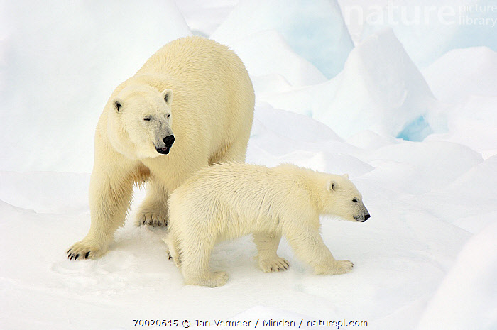Polar Bear (Ursus maritimus) female with cub, Svalbard, Norway  ,  Adult, Baby, Color Image, Cub, Day, Female, Front View, Full Length, Horizontal, Juvenile, Mother, Nobody, Norway, Outdoors, Parent, Photography, Polar Bear, Side View, Snow, Svalbard, Threatened Species, Two Animals, Ursus maritimus, Vulnerable Species, Wildlife,Polar Bear,Norway  ,  Jan Vermeer