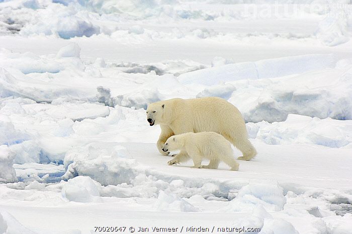Polar Bear (Ursus maritimus) walking with cub, Svalbard, Norway  ,  Adult, Color Image, Cub, Day, Female, Full Length, Horizontal, Juvenile, Mother, Nobody, Norway, Outdoors, Pack Ice, Parent, Photography, Polar Bear, Side View, Svalbard, Threatened Species, Two Animals, Ursus maritimus, Vulnerable Species, Walking, Wildlife,Polar Bear,Norway  ,  Jan Vermeer