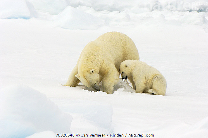 Polar Bear (Ursus maritimus) mother with cub, Svalbard, Norway  ,  Adult, Color Image, Cub, Day, Female, Full Length, Horizontal, Juvenile, Mother, Nobody, Norway, Outdoors, Pack Ice, Parent, Photography, Polar Bear, Side View, Svalbard, Threatened Species, Two Animals, Ursus maritimus, Vulnerable Species, Wildlife,Polar Bear,Norway  ,  Jan Vermeer
