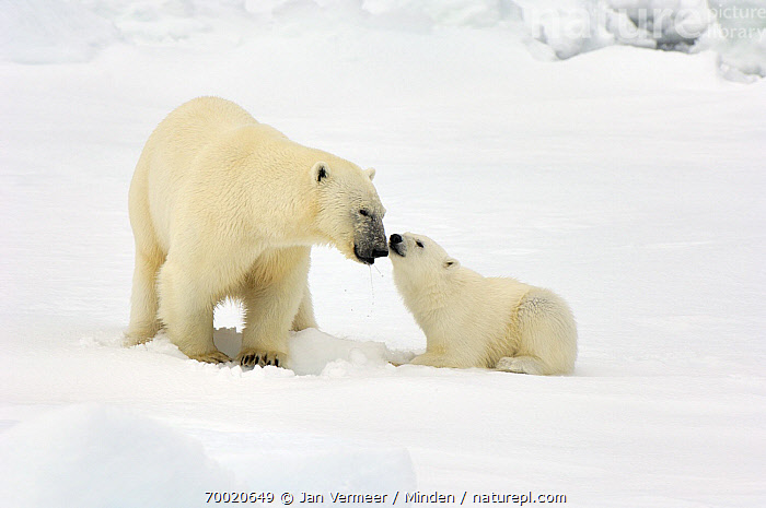 Polar Bear (Ursus maritimus) with cub, Svalbard, Norway  ,  Adult, Color Image, Cub, Day, Female, Front View, Full Length, Horizontal, Juvenile, Mother, Nobody, Norway, Nuzzling, Outdoors, Parent, Parenting, Photography, Polar Bear, Svalbard, Threatened Species, Two Animals, Ursus maritimus, Vulnerable Species, Wildlife,Polar Bear,Norway  ,  Jan Vermeer