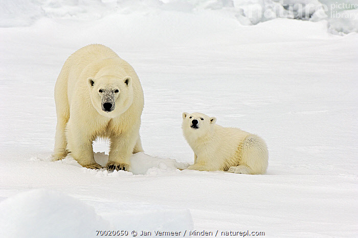 Polar Bear (Ursus maritimus) with cub, Svalbard, Norway  ,  Adult, Color Image, Cub, Day, Female, Front View, Full Length, Horizontal, Juvenile, Looking at Camera, Mother, Nobody, Norway, Outdoors, Pack Ice, Parent, Photography, Polar Bear, Side View, Snow, Svalbard, Threatened Species, Two Animals, Ursus maritimus, Vulnerable Species, Wildlife,Polar Bear,Norway  ,  Jan Vermeer