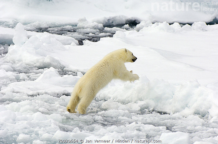 Polar Bear (Ursus maritimus) jumping, Svalbard, Norway  ,  Adult, Animal in Habitat, Color Image, Day, Full Length, Horizontal, Jumping, Leaping, Nobody, Norway, One Animal, Outdoors, Pack Ice, Photography, Polar Bear, Side View, Svalbard, Threatened Species, Ursus maritimus, Vulnerable Species, Wildlife,Polar Bear,Norway  ,  Jan Vermeer