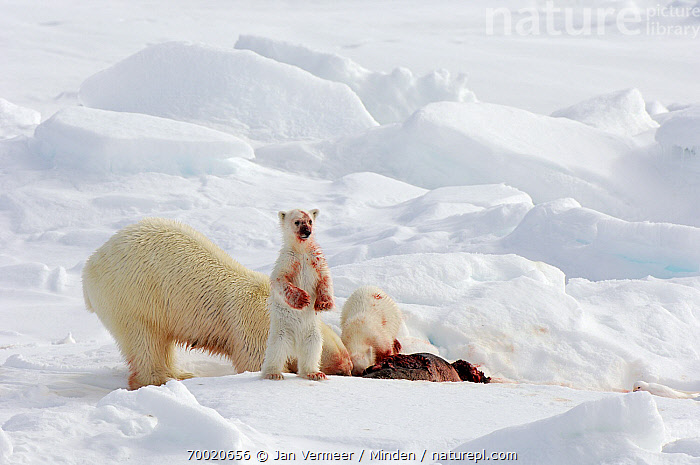 Polar Bear (Ursus maritimus) with cubs covered in blood from seal prey, Svalbard, Norway  ,  Adult, Blood, Carcass, Color Image, Day, Feeding, Front View, Full Length, Horizontal, Nobody, Norway, Outdoors, Photography, Polar Bear, Predator, Prey, Side View, Standing, Svalbard, Threatened Species, Three Animals, Ursus maritimus, Vulnerable Species, Wildlife,Polar Bear,Norway  ,  Jan Vermeer