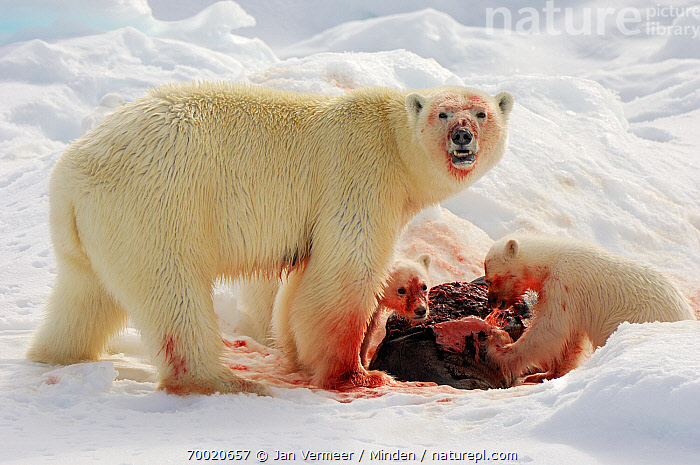 Polar Bear (Ursus maritimus) feeding on prey with cubs, Svalbard, Norway  ,  Adult, Blood, Carcass, Color Image, Cub, Day, Feeding, Female, Full Length, Horizontal, Mother, Nobody, Norway, Outdoors, Parent, Photography, Polar Bear, Side View, Snow, Svalbard, Threatened Species, Three Animals, Ursus maritimus, Vulnerable Species, Wildlife,Polar Bear,Norway  ,  Jan Vermeer