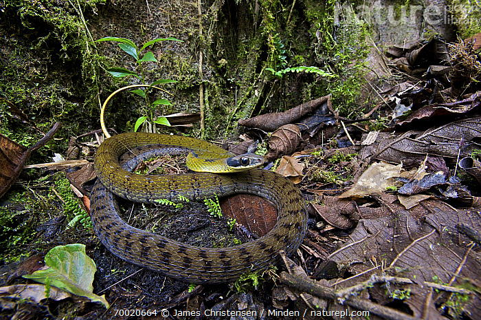 Black-naped Forest Racer (Dendrophidion nuchale) on the west slope of the andes, Mindo, Pichincha, Ecuador  ,  Adult, Black-naped Forest Racer, Camouflage, Color Image, Day, Dendrophidion nuchale, Ecuador, Forest Floor, Full Length, Horizontal, Leaf Litter, Mindo, Nobody, One Animal, Outdoors, Photography, Pichincha, Side View, Wildlife,Black-naped Forest Racer,Ecuador  ,  James Christensen