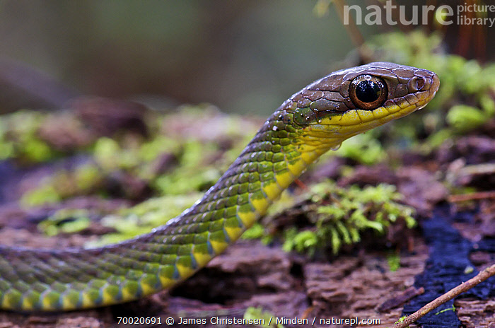 Gunther's Forest Racer (Dendrophidion brunneus), Mindo, Pichincha, Ecuador  ,  Adult, Color Image, Day, Dendrophidion brunneus, Ecuador, Gunther's Forest Racer, Head and Shoulders, Horizontal, Mindo, Nobody, One Animal, Outdoors, Photography, Pichincha, Portrait, Profile, Side View, Wildlife,Gunther's Forest Racer,Ecuador  ,  James Christensen