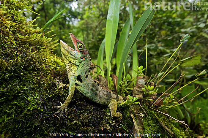 Fraser's Anole (Anolis fraseri) male in threat display, Mindo, Pichincha, Ecuador  ,  Adult, Animal in Habitat, Anolis fraseri, Color Image, Day, Defensive Posture, Ecuador, Frasers Anole, Full Length, Horizontal, Male, Mindo, Nobody, One Animal, Open Mouth, Outdoors, Photography, Pichincha, Side View, Wildlife,Fraser's Anole,Ecuador  ,  James Christensen