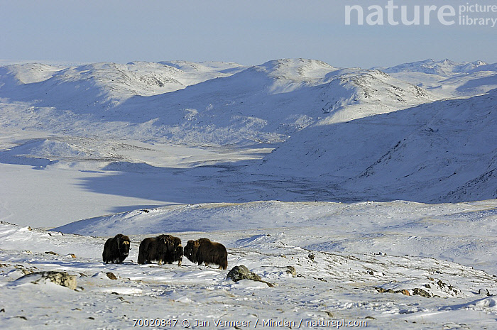Muskox (Ovibos moschatus) group in snowy landscape, Kangerlussuaq, Sondre, Stromfjord, Greenland  ,  Adult, Animal in Habitat, Color Image, Day, Four Animals, Front View, Full Length, Greenland, Horizontal, Kangerlussuaq, Landscape, Mountain Range, Muskox, Nobody, Outdoors, Ovibos moschatus, Photography, Snow, Stromfjord, Wildlife,Muskox,Greenland  ,  Jan Vermeer