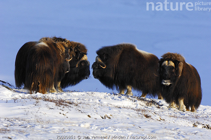 Muskox (Ovibos moschatus) group in the snow, Kangerlusuaq, Sondrestrom, Stromfjord, Greenland  ,  Adult, Color Image, Day, Facing, Four Animals, Front View, Full Length, Greenland, Herd, Horizontal, Kangerlussuaq, Muskox, Nobody, Outdoors, Ovibos moschatus, Photography, Side View, Snow, Sondrestrom, Stromfjord, Wildlife,Muskox,Greenland  ,  Jan Vermeer