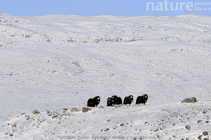 Muskox (Ovibos moschatus) group in snowy landscape, Kangerlussuaq, Sondre, Stromfjord, Greenland  ,  Adult, Color Image, Day, Five Animals, Front View, Full Length, Greenland, Horizontal, Kangerlussuaq, Landscape, Muskox, Nobody, Outdoors, Ovibos moschatus, Photography, Snow, Stromfjord, Wildlife,Muskox,Greenland  ,  Jan Vermeer