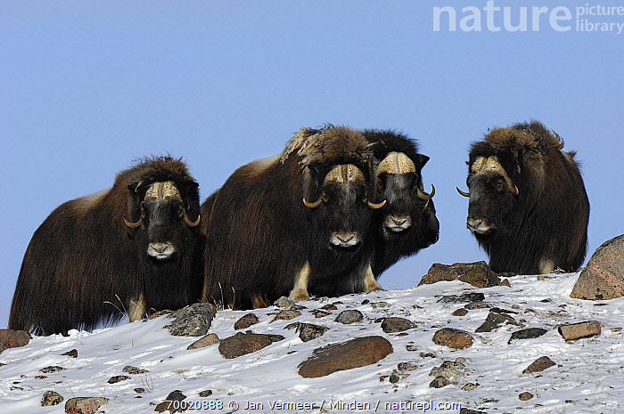 Muskox (Ovibos moschatus) group in snow, Kangerlussuaq, Sondre, Stromfjord, Greenland  ,  Adult, Color Image, Day, Four Animals, Front View, Full Length, Greenland, Horizontal, Kangerlussuaq, Looking at Camera, Muskox, Nobody, Outdoors, Ovibos moschatus, Photography, Snow, Stromfjord, Wildlife,Muskox,Greenland  ,  Jan Vermeer