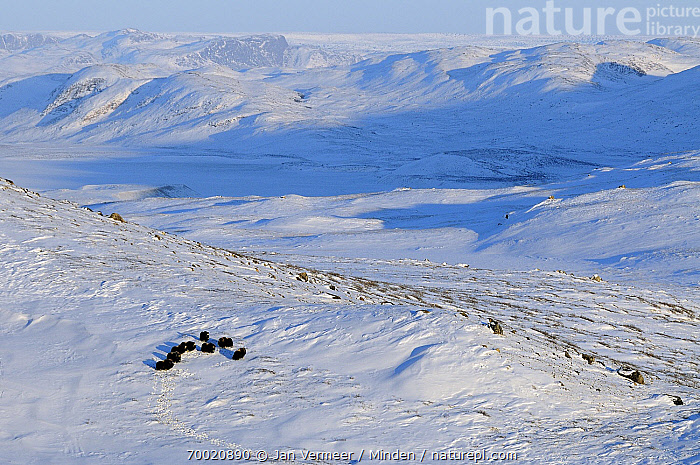 Muskox (Ovibos moschatus) group in snowy landscape, Kangerlussuaq, Sondre, Stromfjord, Greenland  ,  Adult, Aerial View, Color Image, Day, Front View, Full Length, Greenland, Herd, Horizontal, Kangerlussuaq, Landscape, Medium Group of Animals, Muskox, Nobody, Outdoors, Ovibos moschatus, Photography, Snow, Stromfjord, Wildlife,Muskox,Greenland  ,  Jan Vermeer