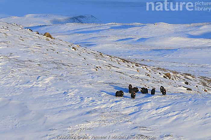 Muskox (Ovibos moschatus) group in snowy field, Kangerlussuaq, Sondre, Stromfjord, Greenland  ,  Adult, Animal in Habitat, Animal in Landscape, Color Image, Day, Full Length, Greenland, Horizontal, Kangerlussuaq, Medium Group of Animals, Muskox, Nobody, Outdoors, Ovibos moschatus, Photography, Side View, Snow, Stromfjord, Wildlife,Muskox,Greenland  ,  Jan Vermeer
