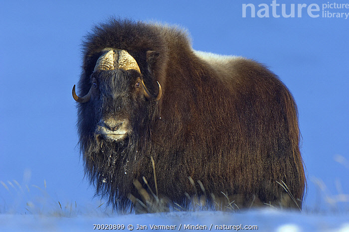 Muskox (Ovibos moschatus) in the snow, Kangerlussuaq, Sondre, Stromfjord, Greenland  ,  Adult, Color Image, Day, Full Length, Greenland, Horizontal, Kangerlussuaq, Looking at Camera, Muskox, Nobody, One Animal, Outdoors, Ovibos moschatus, Photography, Side View, Snow, Stromfjord, Wildlife,Muskox,Greenland  ,  Jan Vermeer