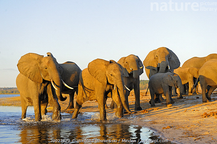 African Elephant (Loxodonta africana) group on bank of the Chobe River, Chobe National Park, Botswana  ,  Adult, African Elephant, Botswana, Chobe National Park, Chobe River, Color Image, Day, Front View, Full Length, Herd, Horizontal, Juvenile, Large Group of Animals, Loxodonta africana, Nobody, Outdoors, Photography, River, River Bank, Shore, Threatened Species, Vulnerable Species, Wildlife,African Elephant,Botswana  ,  Winfried Wisniewski