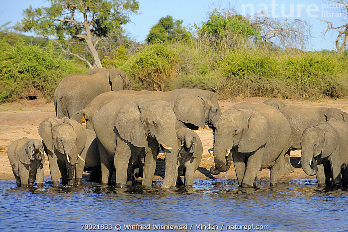 African Elephant (Loxodonta africana) herd at edge of Chobe River, Chobe National Park, Botswana  ,  Adult, African Elephant, Botswana, Chobe National Park, Chobe River, Color Image, Day, Family, Front View, Full Length, Herd, Horizontal, Juvenile, Large Group of Animals, Loxodonta africana, Nobody, Outdoors, Photography, River Bank, Threatened Species, Vulnerable Species, Wildlife,African Elephant,Botswana  ,  Winfried Wisniewski