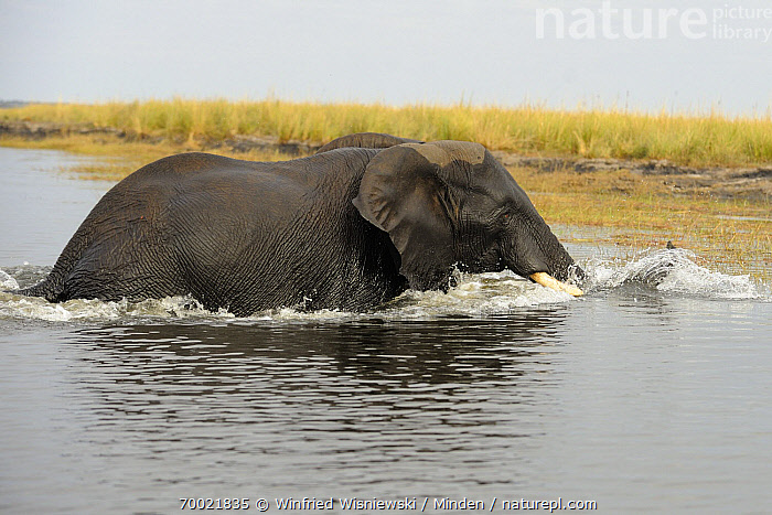 African Elephant (Loxodonta africana) wading through the Chobe River, Chobe National Park, Botswana  ,  Adult, African Elephant, Botswana, Chobe National Park, Chobe River, Color Image, Day, Full Length, Horizontal, Loxodonta africana, Nobody, One Animal, Outdoors, Photography, River, Side View, Splashing, Threatened Species, Vulnerable Species, Wading, Walking, Wet, Wildlife,African Elephant,Botswana  ,  Winfried Wisniewski