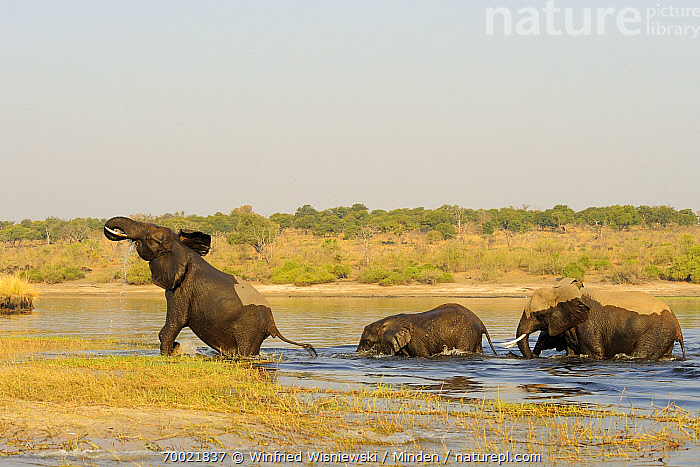 African Elephant (Loxodonta africana) group crossing Chobe River, Chobe National Park, Botswana  ,  Adult, African Elephant, Animal in Habitat, Animal in Landscape, Botswana, Chobe National Park, Chobe River, Color Image, Crossing River, Day, Full Length, Horizon, Horizontal, Loxodonta africana, Nobody, Outdoors, Photography, River, Side View, Threatened Species, Three Animals, Vulnerable Species, Wet, Wildlife,African Elephant,Botswana  ,  Winfried Wisniewski