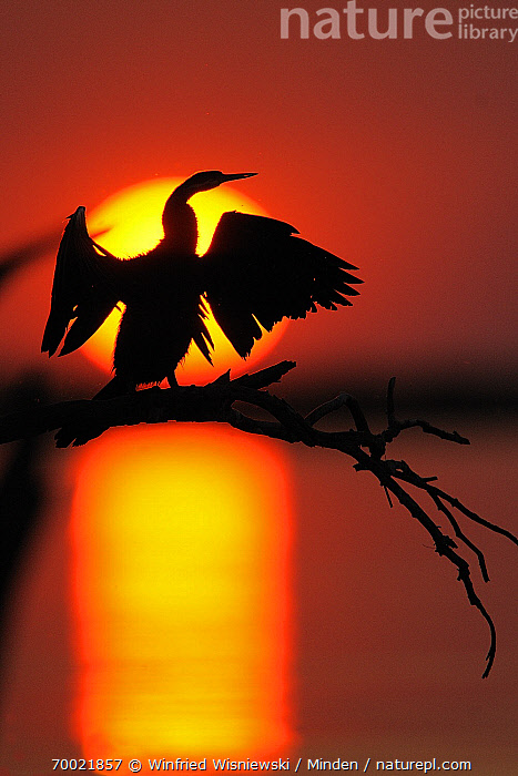 African Darter (Anhinga rufa) on branch at sunset, Chobe National Park, Botswana  ,  Adult, African Darter, Anhinga rufa, Botswana, Branch, Chobe National Park, Color Image, Day, Full Length, Nobody, One Animal, Outdoors, Perched, Photography, Rear View, Silhouette, Sunset, Vertical, Water Bird, Wildlife,African Darter,Botswana  ,  Winfried Wisniewski