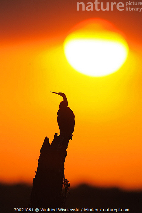 African Darter (Anhinga rufa) at sunset, Chobe National Park, Botswana  ,  Adult, African Darter, Anhinga rufa, Botswana, Chobe National Park, Color Image, Day, Full Length, Nobody, One Animal, Outdoors, Perched, Photography, Side View, Silhouette, Sunset, Vertical, Water Bird, Wildlife,African Darter,Botswana  ,  Winfried Wisniewski
