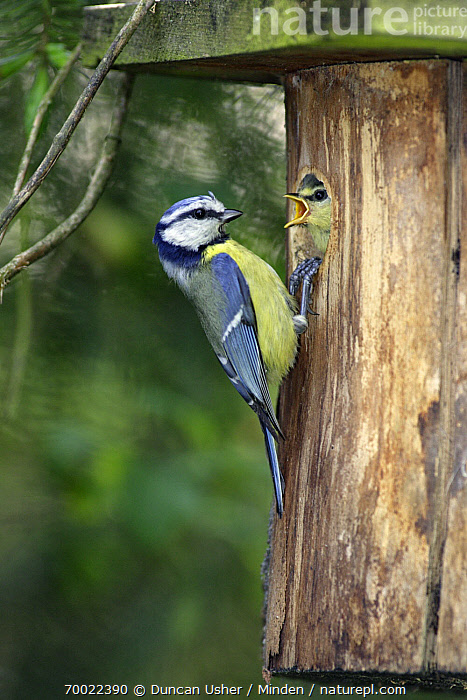 Blue Tit (Cyanistes caeruleus) and begging at nestbox entrance, Lower Saxony, Germany  ,  Adult, Begging, Blue Tit, Chick, Color Image, Cyanistes caeruleus, Day, Feeding, Fledgling, Full Length, Germany, Lower Saxony, Nest Box, Nobody, Outdoors, Parent, Photography, Side View, Songbird, Two Animals, Vertical, Wildlife,Blue Tit,Germany  ,  Duncan Usher