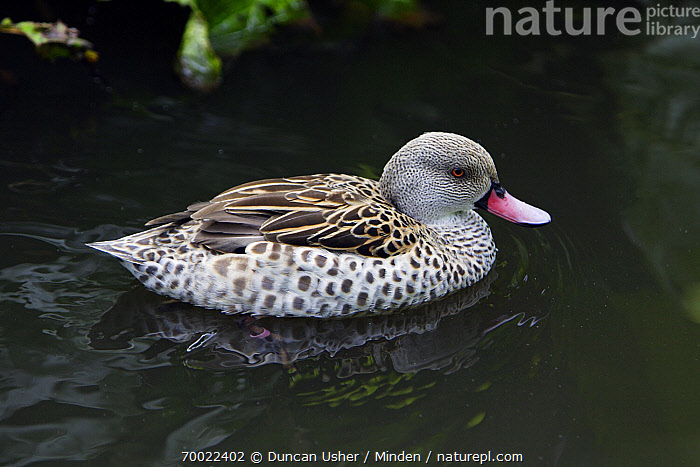 Cape Teal (Anas capensis) duck, male swimming in pond, Lower Saxony, Germany  ,  Adult, Anas capensis, Cape Teal, Color Image, Day, Drake, Duck, Full Length, Germany, Horizontal, Lower Saxony, Male, Nobody, One Animal, Outdoors, Photography, Side View, Waterfowl, Wildlife,Cape Teal,Germany  ,  Duncan Usher